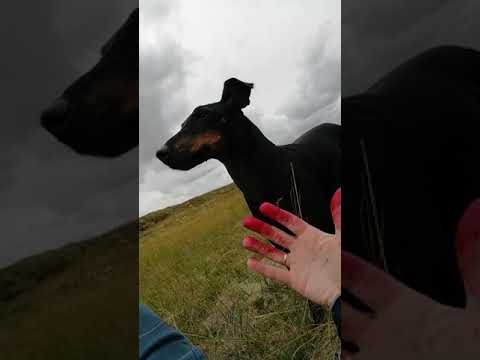 Chester the Manchester Terrier helps picking blackberries