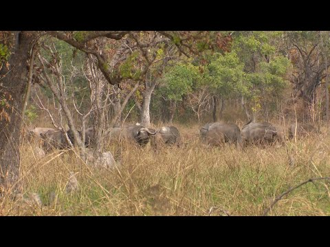 African Buffalo Hunt. Tanzania Buffalo Hunting at it's Best #1