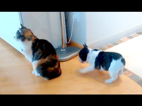 Thumbnail for Cat Video Stoic Cat Ignores Excited Puppy's Attempts to Play