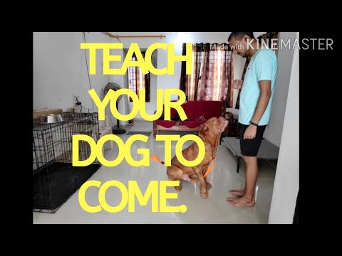 French Mastiff Dog Training day10 | How to teach a dog to come | Recall training