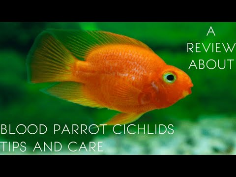 A review about blood parrot cichlids   tips and care in tamil