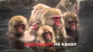 Джигокудани или парк снежных обезьян/ Photo snow monkeys