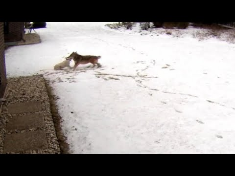 Coyote attacks family