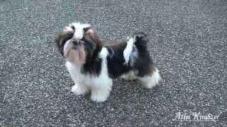 Indiana - Atrei Kirabzer (shih-tzu Puppy)
