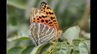 Научная удача: на Полярный Урал вернулись редкие бабочки