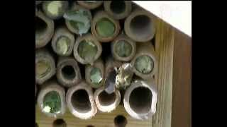 Busy Bee Movie Leafcutter and Mason Bees in our Insect Box ,England July 2012