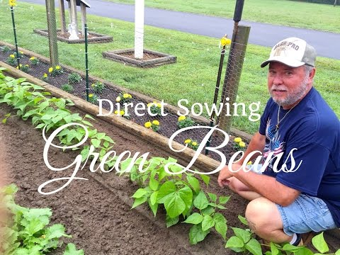 HD How To Grow Green Beans (Snap Beans) By Direct Sowing