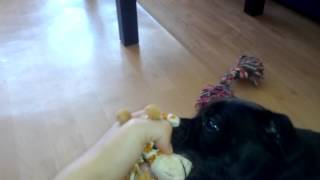 Staffordshire Bull Terrier Shelby Is Hunting Her Toy