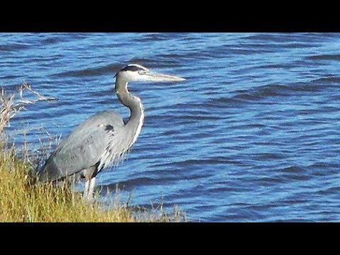 Encountering Great Blue Heron On >> Close Encounters With The Great Blue Heron Youtube