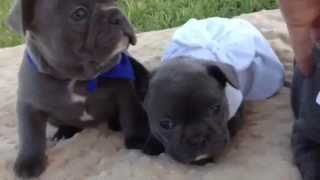 Blue French Bulldog Puppies Of Bane And Cindy By The French Bulldog Mom/cypress' French Connection