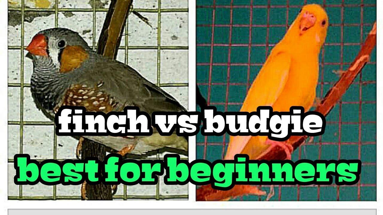 Best Pet Bird For Beginners - Budgie Vs Finchin Hindi -2297