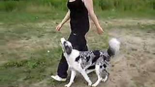 Border Collie Zoe - Obedience Training
