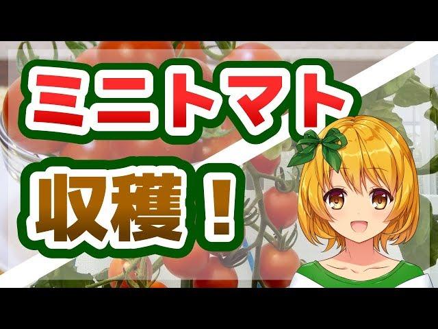 おてがる野菜づくり、ミニトマト収穫!