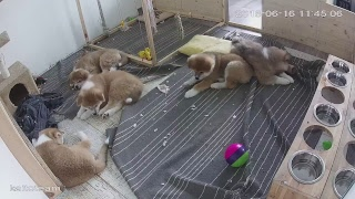 ЩЕНКИ #АКИТА ОНЛАЙН | #AKITA PUPPIES ONLINE | PET 犬 | DAY 65