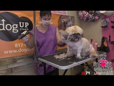 Texas My Favorite Groomer LIVE - Shih tzu SHAVE DOWN
