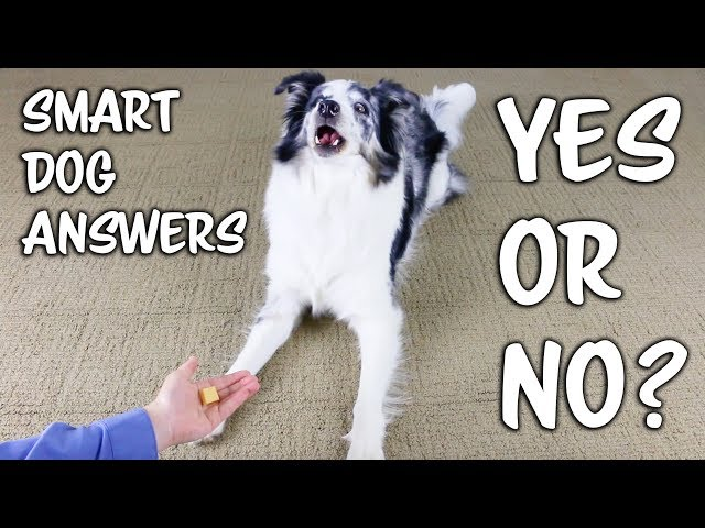 "Smart dog answers ""Yes"" and ""No"""