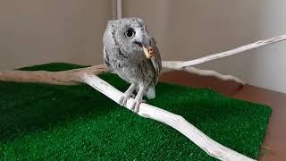 Буланые совки Пек и Шуня. Милые маленькие совы.