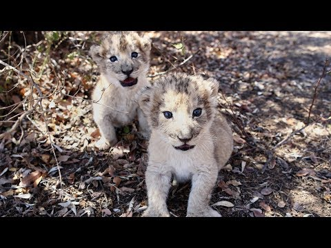 First Lion Cubs Born From Artificial Insemination Are Living Healthy Lives