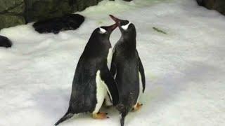 Gambar cover Australia, due pinguini maschi in coppia diventano genitori