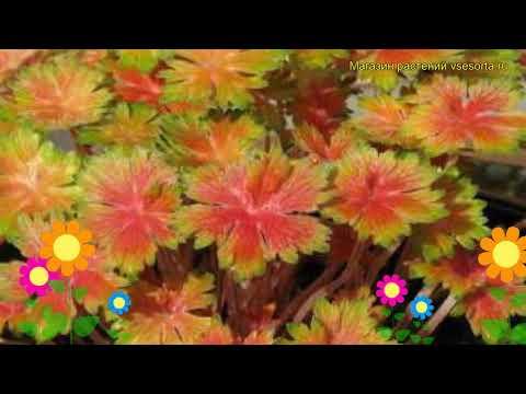 Герань гибридная Фэй Анна. Краткий обзор, описание характеристик geranium hybrid Fay Anna