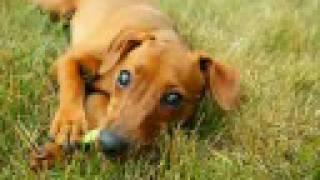 Killer Min Pin Puppy