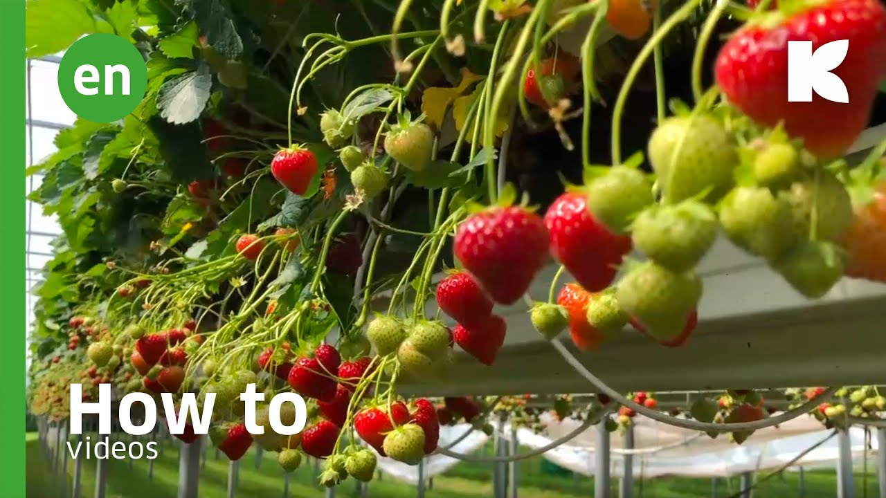 Irrigation of soft fruits Video Youtube