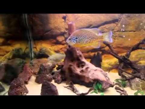 Acquario con pesci di acqua fredda youtube for Pesci acqua fredda piccoli