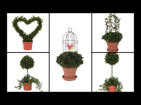 How to care for an Ivy Topiary Plant