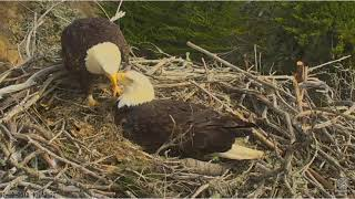 2/10/18..Sauces Eagles~3 Beautiful Eggs~ Nesting Material Brought In By Both
