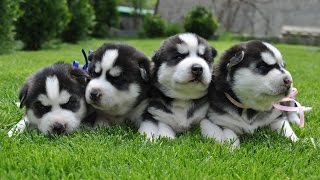Щенки Хаски Милота 1 неделя от роду! Puppies Husky Cute 1 week