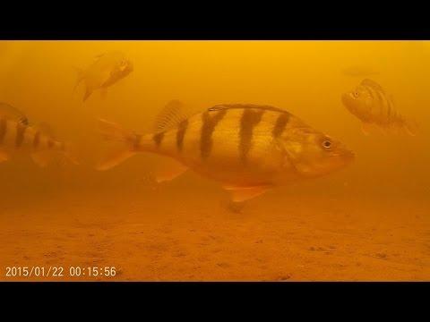 видео: Съемка окуня подо льдом. Любопытные матросы.