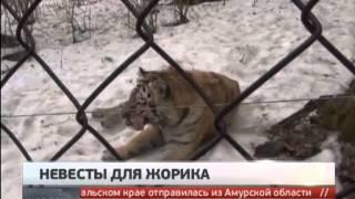 Тигру Жорику привезут невест. Новости. GuberniaTV.