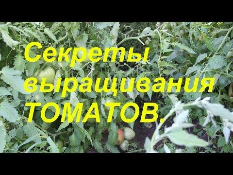 Как часто поливать помидоры в теплице и в открытом грунте?