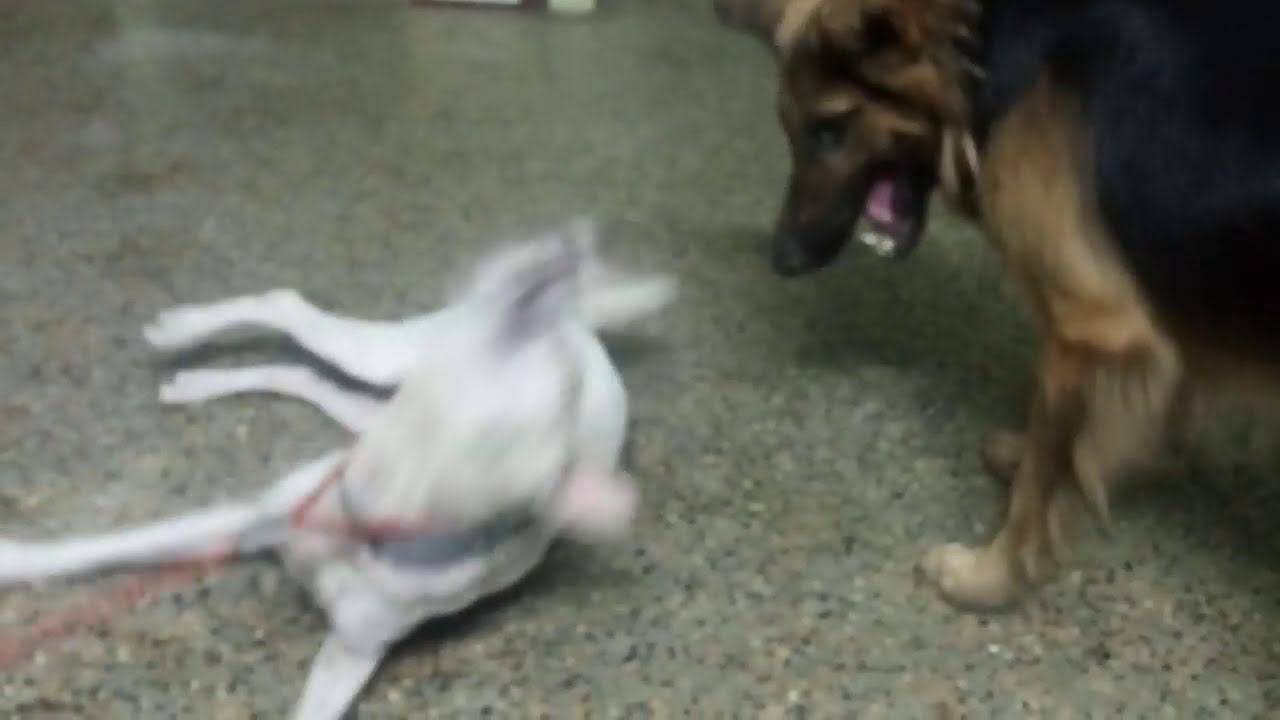 German Shepherd Vs Indian Dog Real Fight Youtube