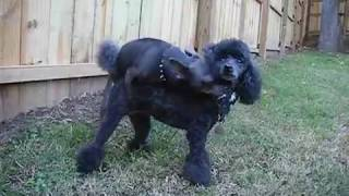 Repeat youtube video Chihuahua Humps Poodle