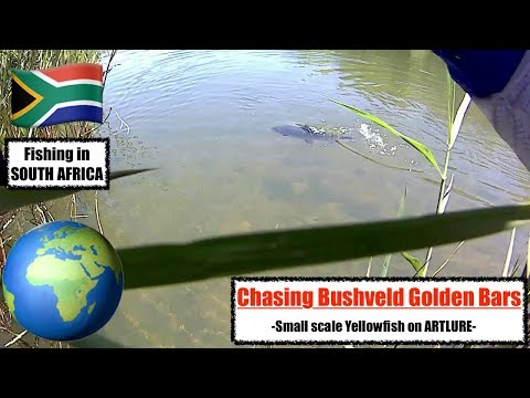 Chasing Bushveld Golden Bars - Stalking elusive Smallscale Yellowfish on artlure