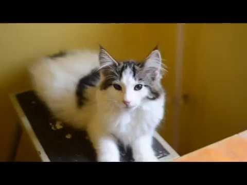 Bellamy 3 months old / Norvég Erdei Macska / Norwegian Forest Cat