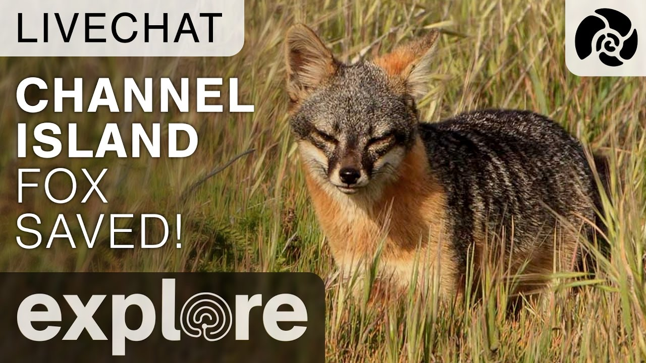 California's Channel Island Fox Removed From The Endangered Species List - Live Chat