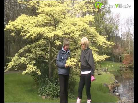Cornus Controversa Variegata The Wedding Cake Tree Youtube