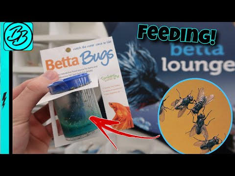 BETTA Fish EATING LIVE BUGS!