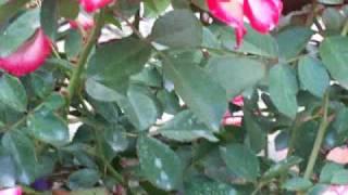 видео Роза Betty Boop