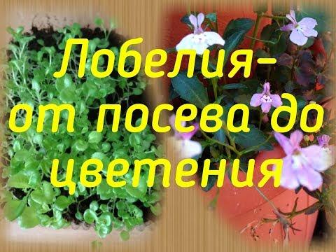 Лобелия - от посева до цветения!