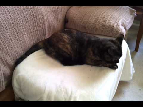 Chassie-cat With Toxoplasmosis, #2