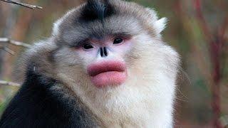 Чёрный ринопитек или курносая обезьяна/Rhinopias or black snub-nosed monkey