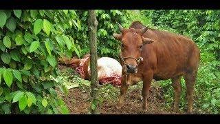 Người dân Quảng Bình bất an vì nạn trộm trâu bò| VTC14