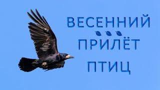 Какие перелётные птицы прилетают весной?