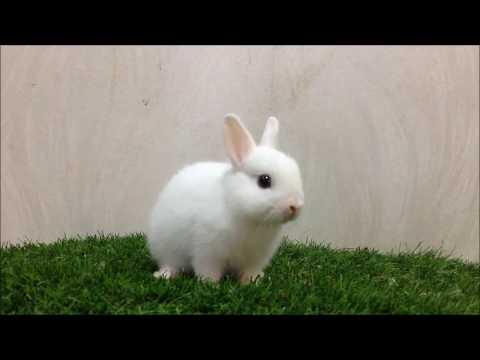 กระต่ายแคระสีขาวตาสีฟ้า