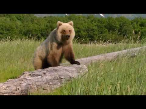 Brown Bear Standing Up