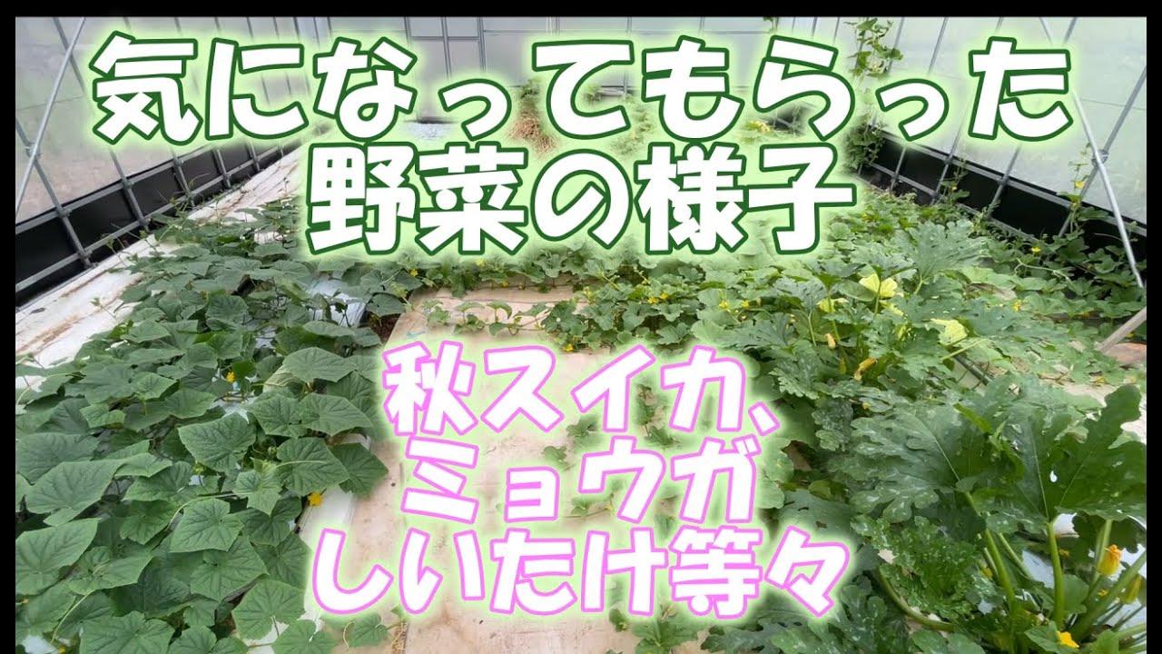 【リクエスト】気になってもらった秋野菜の様子。みょうが。秋スイカ、メロン、かぼちゃ等々、はじめての菌床しいたけ
