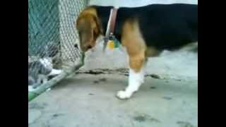 Beagle With Cats :-)
